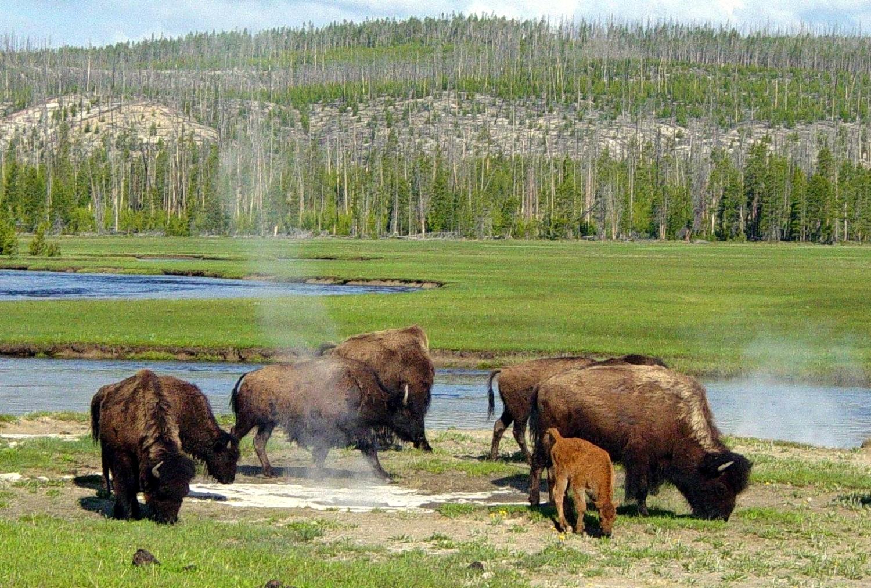 Бизоны у горячего источника