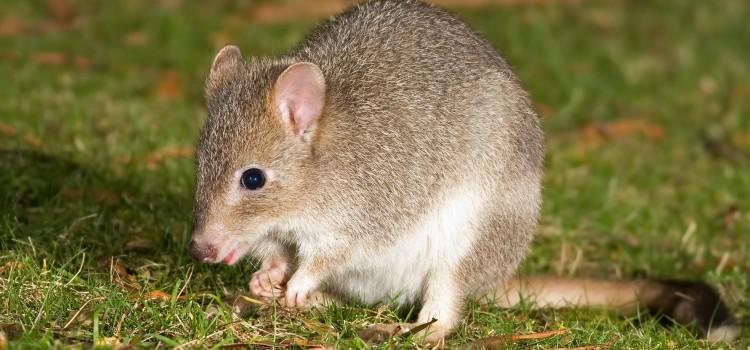 Короткомордые кенгуру — милейшие создания из Австралии