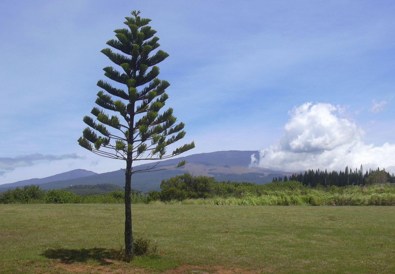 Сосны Кука: деревья, которым хочется на экватор Фото: Forest and Kim Starr/Flickr.com