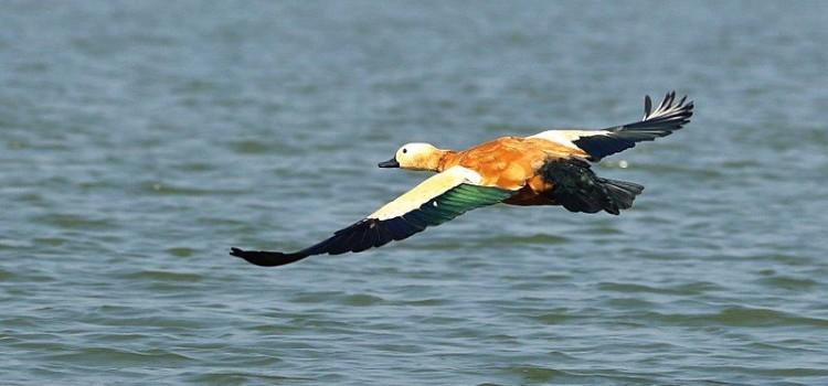 Найдены утки, летающие на высоте 7000 метров